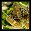 Crustacean #01