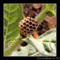 Wasp comb