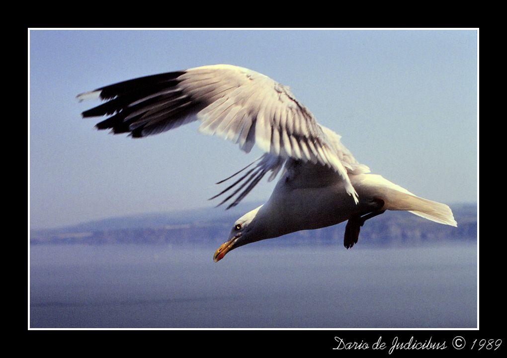 Irish seagull