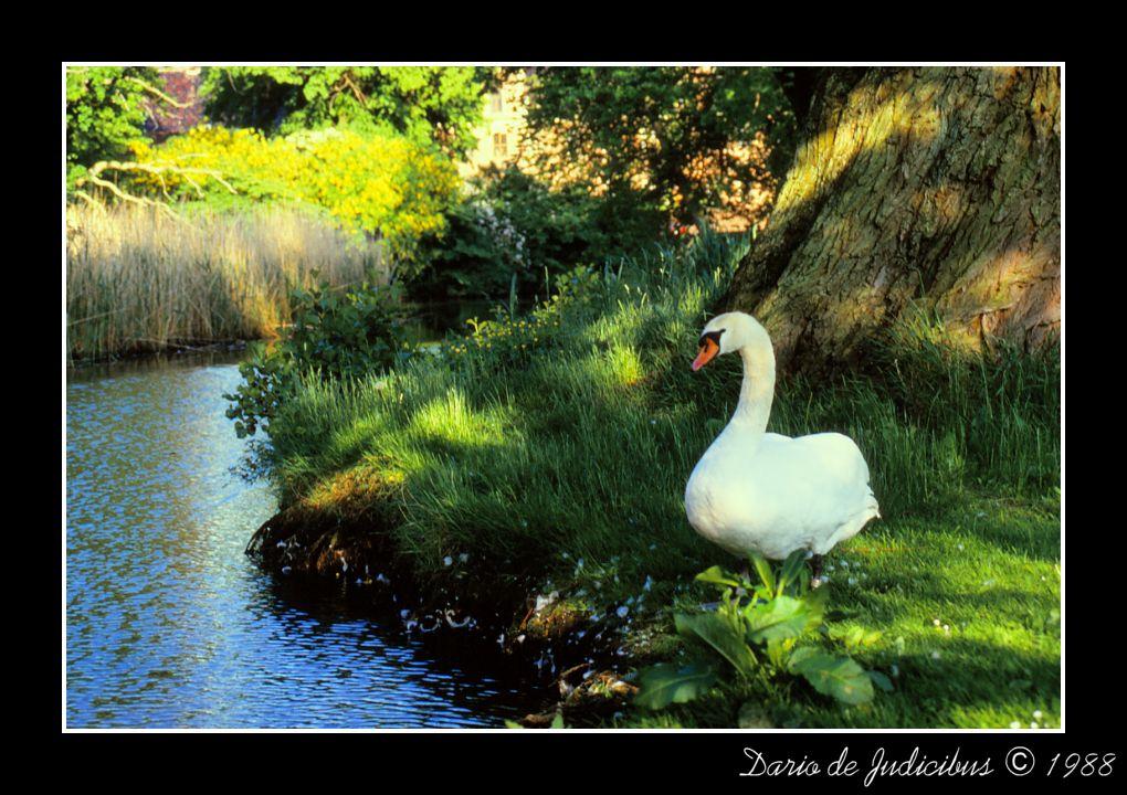Swan and lake