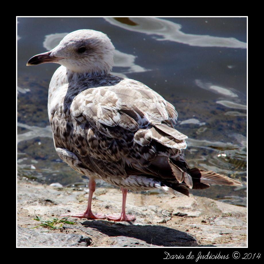 Seagull #25