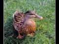 Duck #09