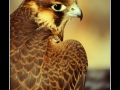 Egyptian hawk