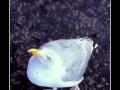 Seagull #22