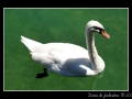 Swan and gosling