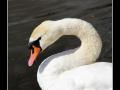 Swan #02