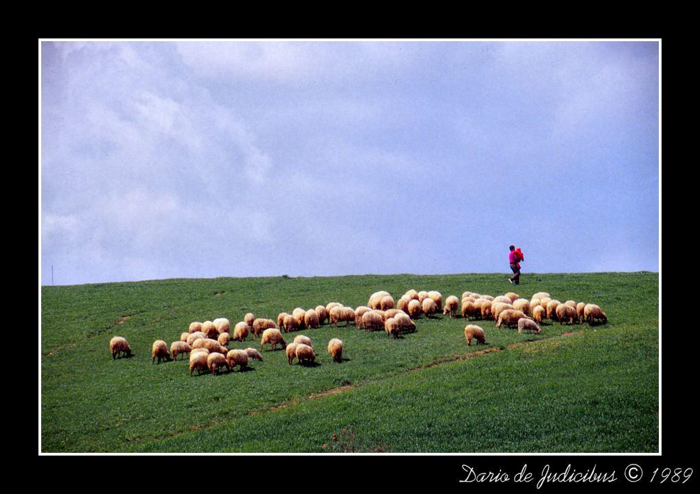 Sheeps with shepherd