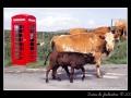 Irish cows and phone box