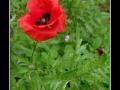 Poppy #01