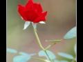 Rose #02