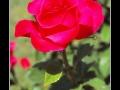 Rose #29