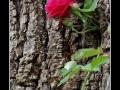 Rose #23