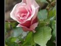 Rose #24