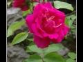 Rose #25