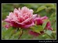 Rose #26