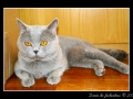 British Shorthair #02