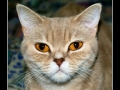 British Shorthair #03
