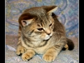 British Shorthair #05