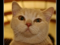 British Shorthair #07