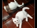 British Shorthair #09