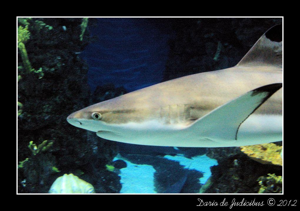 Carcharhinus melanopterus #1