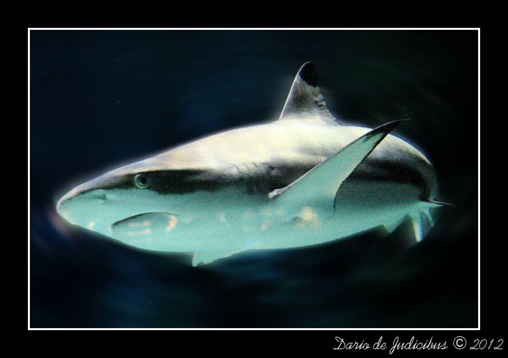 Carcharhinus melanopterus #2
