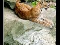 Lynx #01