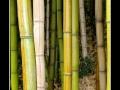 Bamboo #01